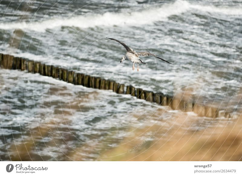 Nature Water Animal Autumn Environment Coast Bird Brown Gray Flying Waves Wild animal Wind Baltic Sea Gale Seagull