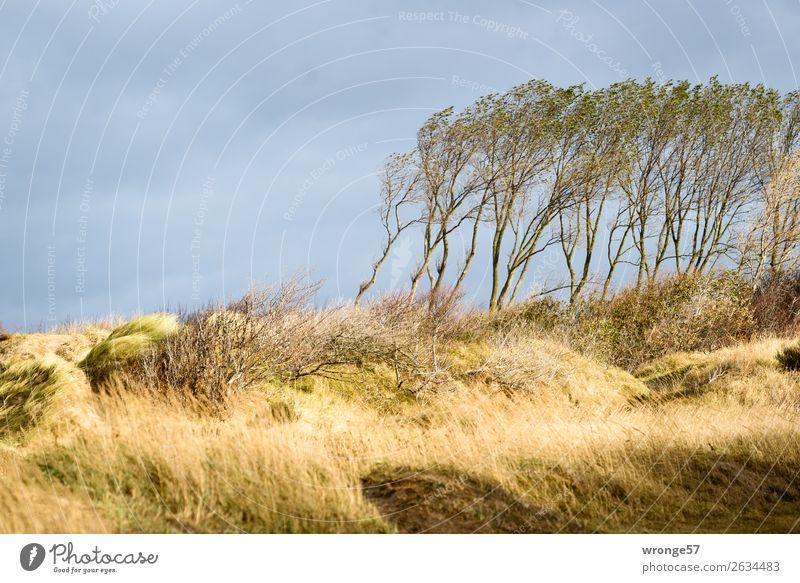 dune forest Nature Autumn Beautiful weather Wind Gale Tree Grass Marram grass Coast Baltic Sea Beach dune Darss Blue Yellow Gray Dune Autumnal