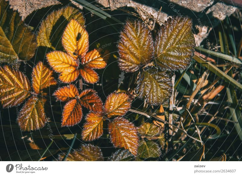 Close-up of rosa rubiginosa in winter outside Beautiful Calm Winter Mountain Garden Wallpaper Nature Plant Autumn Bushes Leaf Park Forest Dark Natural Wild