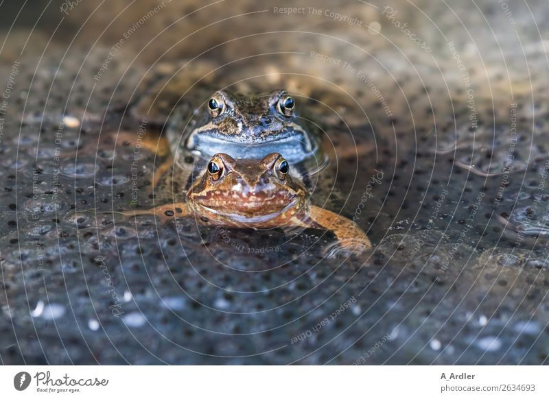 Frogs during mating Animal Wild animal 2 Pair of animals Water Serene Contact Nature Frog spawn Spawn Propagation Road ditch Pond Orange Blue Turquoise Brown