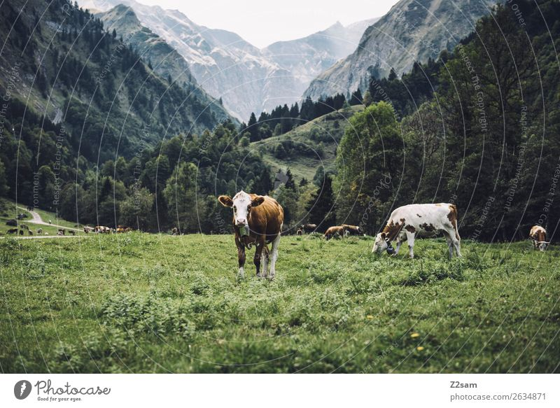 Allgäu cows Hiking Environment Nature Landscape Summer Meadow Alps Mountain Farm animal Group of animals Herd Observe Looking Curiosity Green Attentive