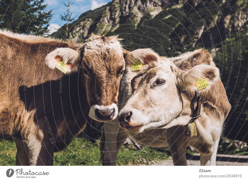 Austrian cows Adventure Hiking Nature Landscape Alps Mountain Animal Cow 2 Communicate Stand Curiosity Brown Sympathy Friendship Together Love Loneliness
