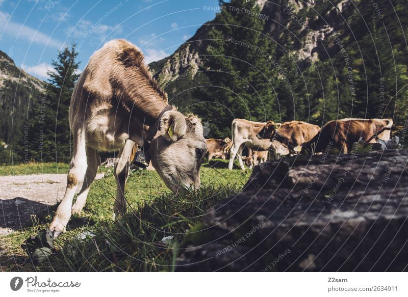 Cows in the Lechtal Alps Adventure Hiking Nature Landscape Meadow Mountain Farm animal 4 Animal Herd To feed Natural Green Together Calm Relationship Loneliness