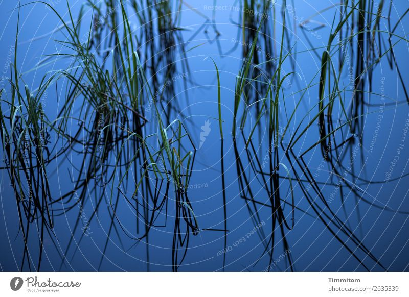 Blue lake with stalks Environment Nature Elements Water Plant Juncus Lakeside Growth Esthetic Natural Green Black Emotions Relaxation Calm Surface of water