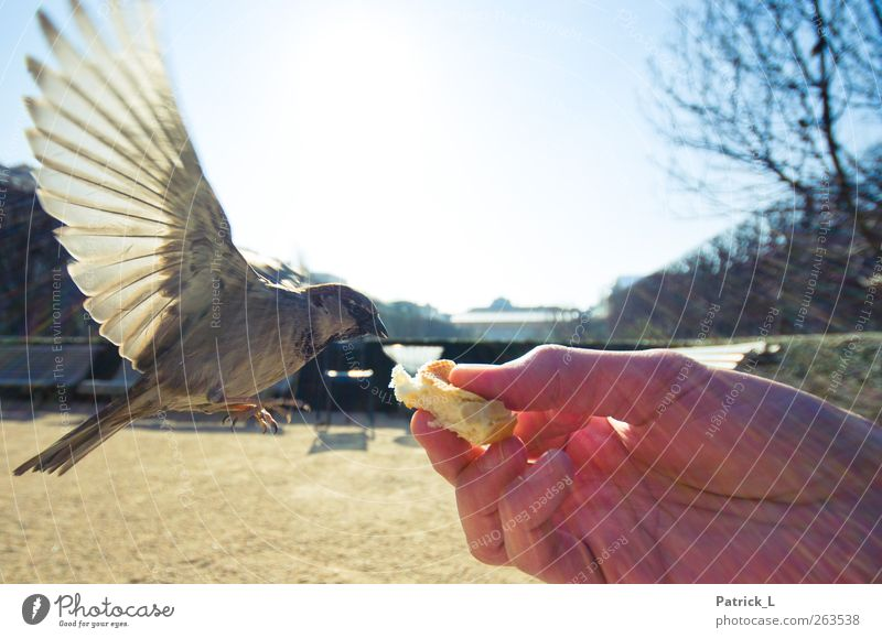 BirdPerspective Wing Sparrow 1 Animal Flying To feed Feeding Love of animals Sky Hand Hover Feather Snapshot Colour photo Exterior shot Close-up Day Light