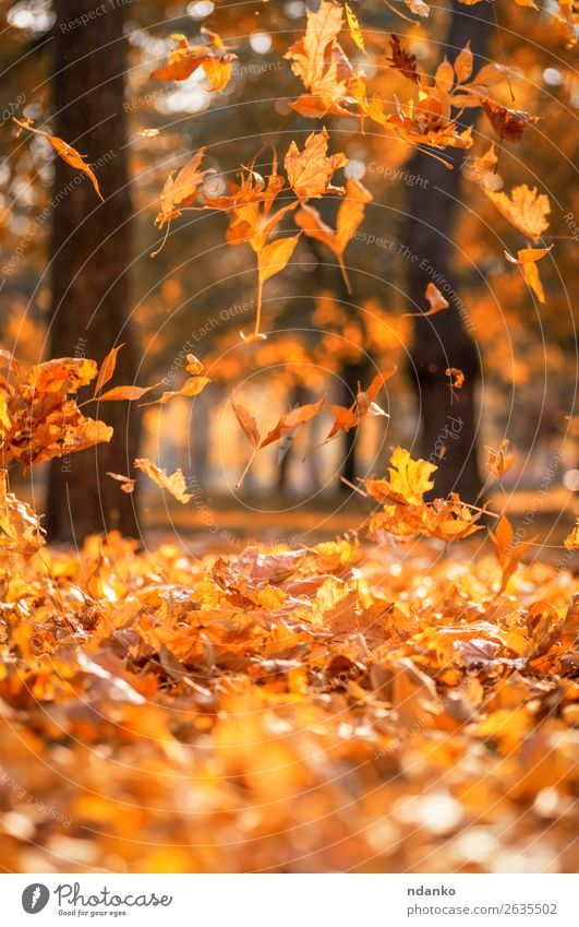falling dry yellow maple leaves on an autumn Sun Garden Decoration Environment Nature Landscape Plant Autumn Tree Leaf Park Forest Flying Bright Natural Brown