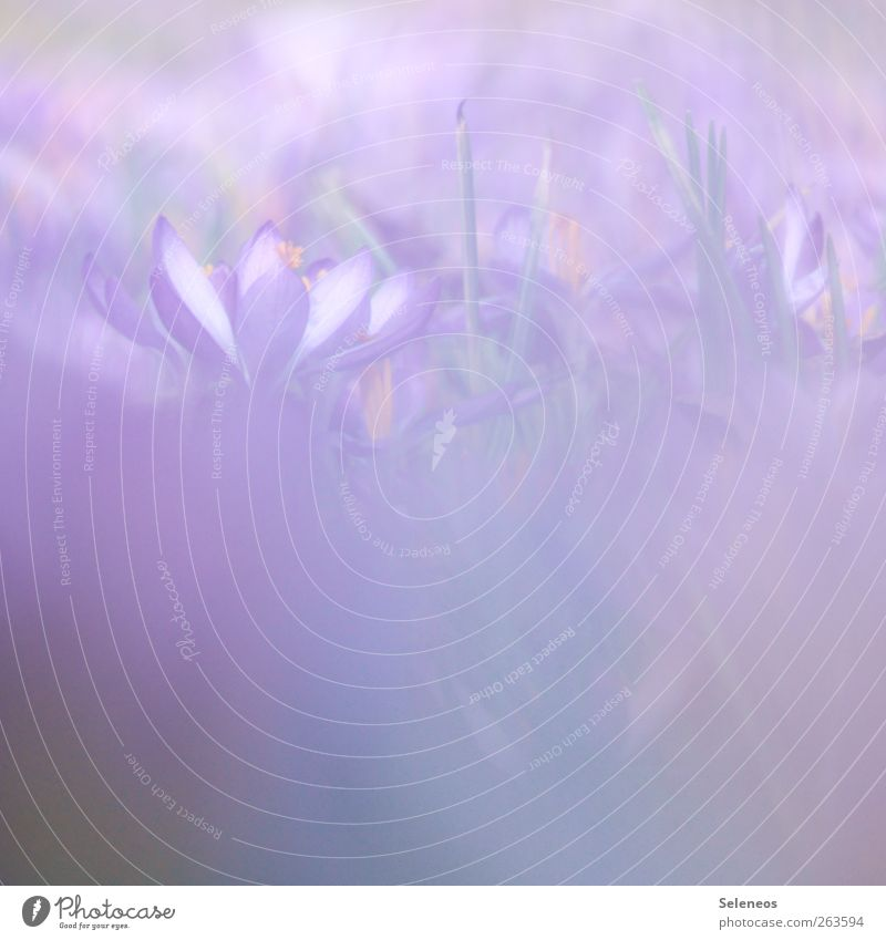 purple. for girls. Environment Nature Spring Beautiful weather Warmth Plant Flower Grass Blossom Crocus Garden Park Meadow Blossoming Near Violet Colour photo