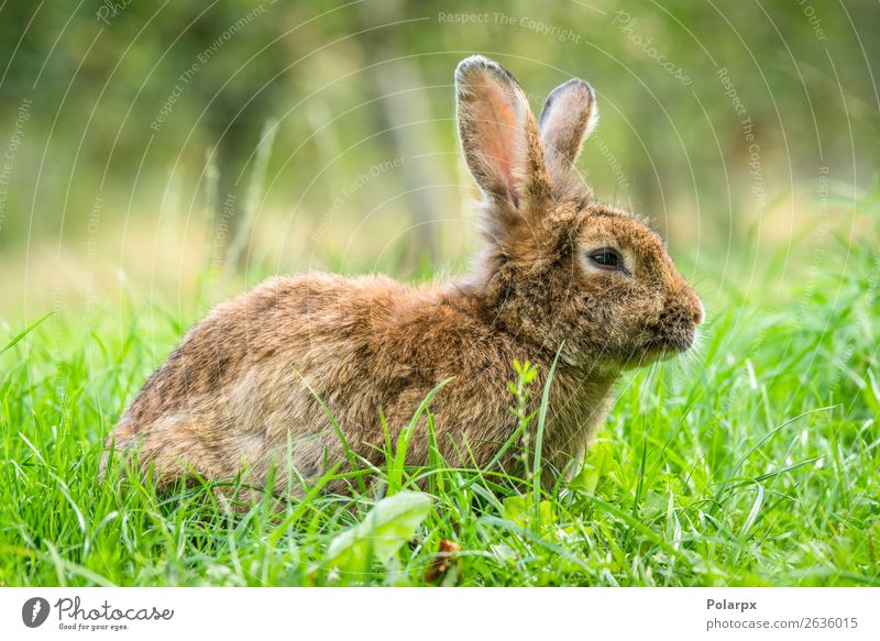 Brown easter bunny in fresh green grass Eating Beautiful Hunting Summer Sun Garden Easter Baby Nature Animal Grass Meadow Fur coat Pet Small Cute Wild Gray