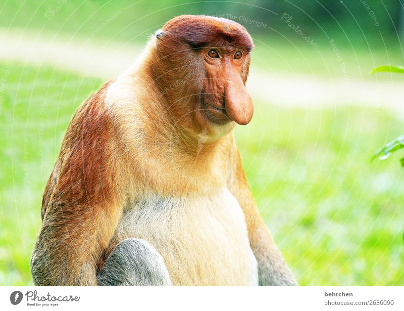 Long nose, big belly, signs of age. Vacation & Travel Tourism Trip Adventure Far-off places Freedom Virgin forest Wild animal Animal face Pelt Monkeys