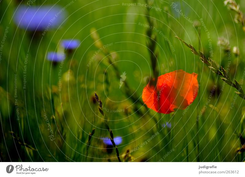 summer Environment Nature Plant Summer Flower Grass Blossom Wild plant Meadow Growth Multicoloured Green Red Fragrance Idyll Poppy Cornflower Colour photo