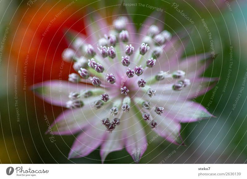 Delicate blossom Blossom ornamental garlic Green Violet Orange Pink White Fragile Symmetry Pistil Macro (Extreme close-up) Deserted Copy Space left