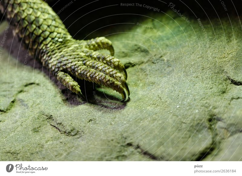 green claw Environment Nature Animal Wild animal Scales Claw Zoo Terrarium 1 Exotic Natural Warmth Green Adventure Colour Saurians Lizards Barbed agame Stone