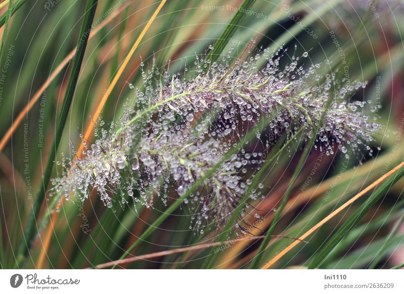 Grasses with drops Nature Plant Water Drops of water Rain Foliage plant Garden Park Brown Yellow Gray Green Orange Black White Pearl Blade of grass