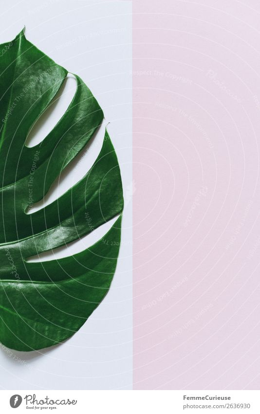 Monstera leaf on white and pink background Stationery Paper Piece of paper Nature Pink White Leaf Part of the plant Plant Decoration Creativity Design