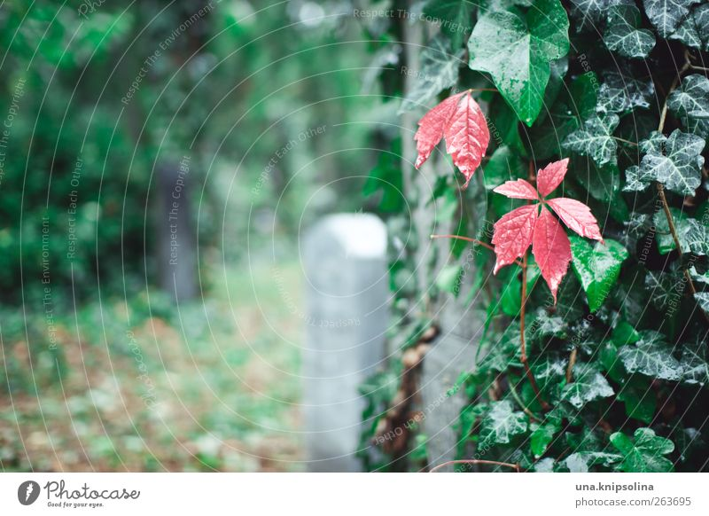 red on green Nature Drops of water Autumn Rain Plant Ivy Leaf Wild plant Virginia Creeper Garden Park Cemetery Stone Uniqueness Natural Green Red Loneliness End