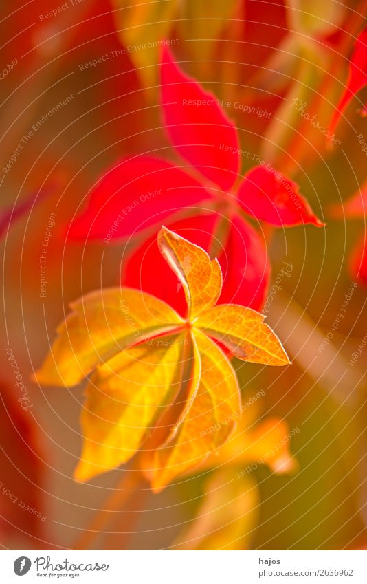 wild wine in autumn colours Nature Plant Wall (barrier) Wall (building) Yellow Pink Red Vine Virginia Creeper Autumnal colored Season variegated Close-up Leaf
