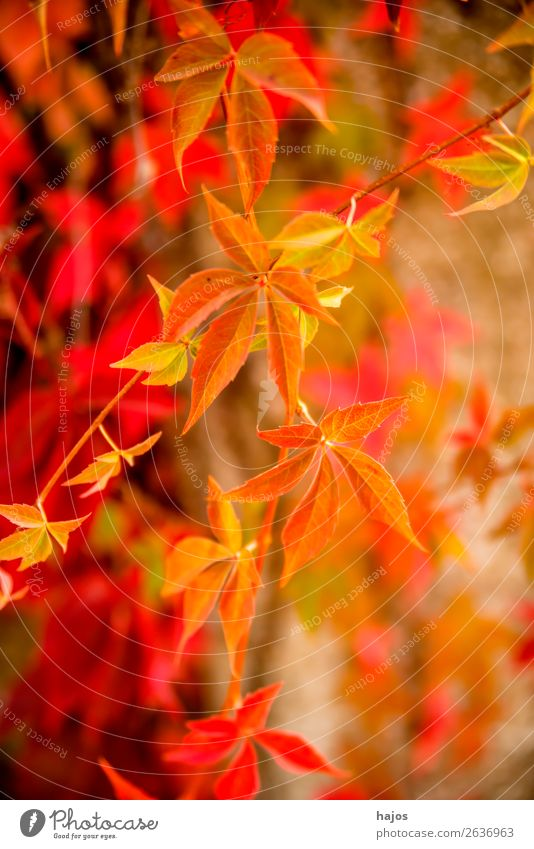 wild wine in autumn colours Nature Plant Wall (barrier) Wall (building) Pink Red Virginia Creeper leaves discoloured Yellow Autumnal variegated Brilliant sunny