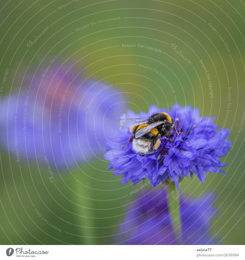 hardworking bumblebees Environment Nature Plant Animal Summer Flower Blossom Cornflower Field Wild animal Wing Bumble bee Insect 1 Work and employment