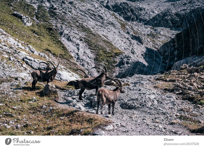 Capricorn | Sea Chart E5 Adventure Mountain Hiking Nature Landscape Summer Rock Alps 4 Animal Herd To feed Stand Calm Loneliness Idyll Sustainability