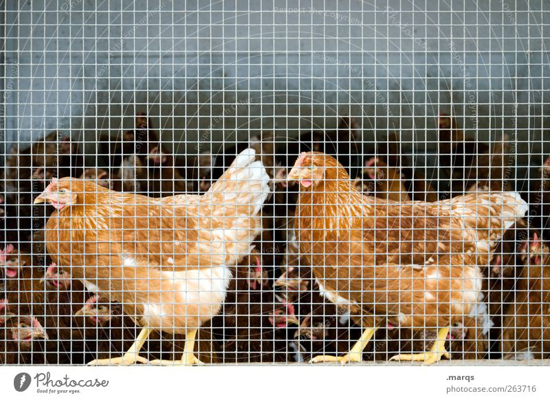 chicken Farm animal Barn fowl 2 Animal Group of animals Cage Together Livestock breeding Confine Many Bird Colour photo Close-up Deserted Copy Space top