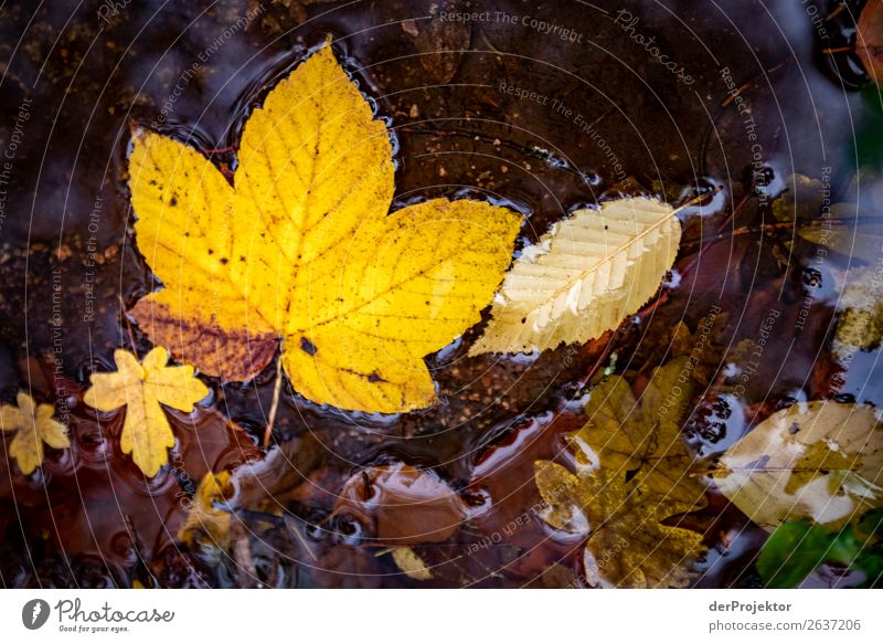 Autumn leaves in the brook Vacation & Travel Tourism Trip Adventure Hiking Environment Nature Landscape Plant Animal Water Bad weather Leaf Brook Esthetic Dark