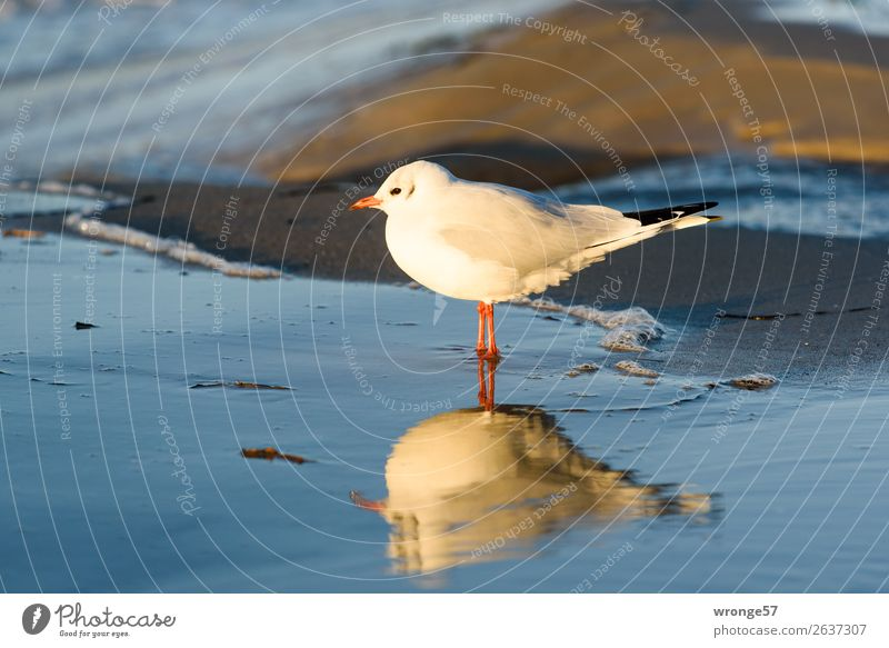 Seagull at the Baltic Sea beach Nature Animal Sand Water Autumn Beautiful weather Beach Wild animal Bird 1 Observe Stand Wait Near Blue Brown White Ocean