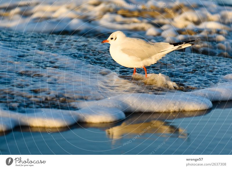 Seagull at the Baltic Sea beach II Nature Animal Sand Water Autumn Beautiful weather Beach Wild animal Bird 1 Stand Wet Blue Brown White Ocean Coast Sandy beach