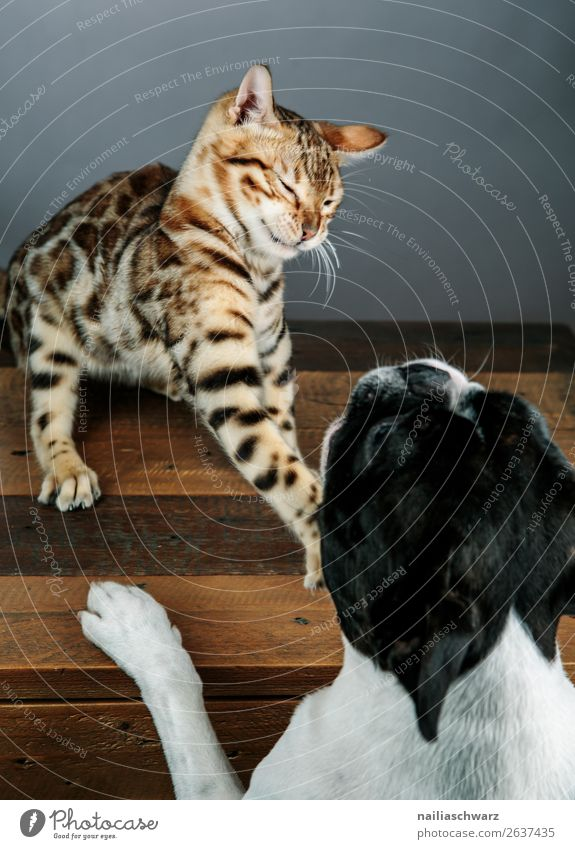 Cat & Dog Animal Pet boston terrier bengal cat 2 Table Wooden table Communicate Argument Aggression Brash Astute Funny Natural Cute Emotions Together