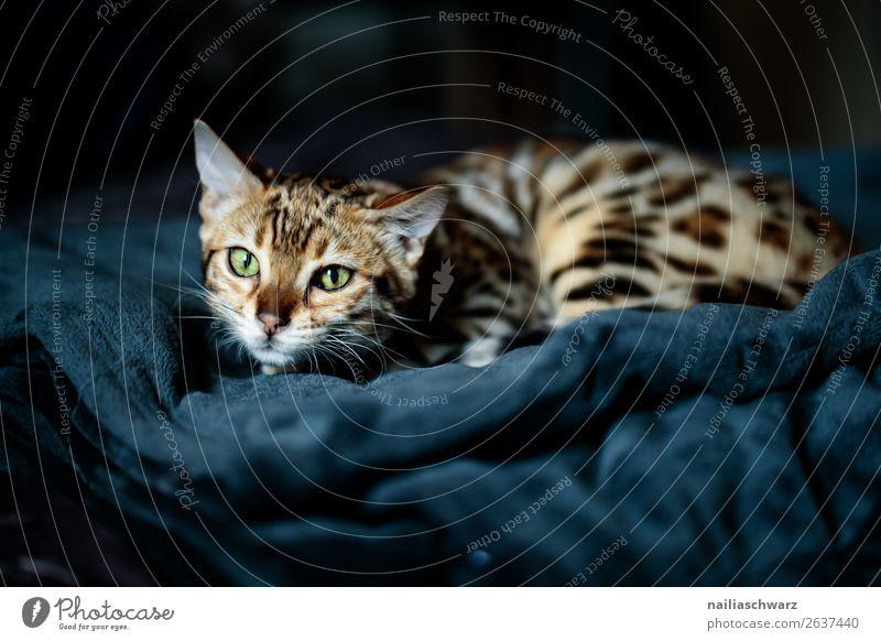 Cat Blue Animal Baby animal Gray Fear Lie Dangerous Wait Cute Observe Threat Curiosity Discover Soft Target