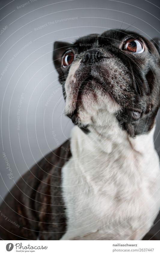 Boston Terrier Animal Pet Dog Animal face boston terrier French Bulldog 1 Observe Discover Looking Sit Elegant Brash Beautiful Funny Curiosity Cute Black White