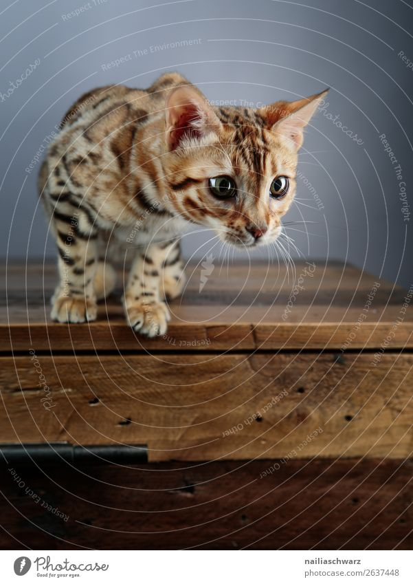 Bengal cat Animal Cat 1 Baby animal Table Wooden table Observe Discover Looking Wait Elegant Brash Friendliness Happiness Natural Curiosity Cute Beautiful Wild