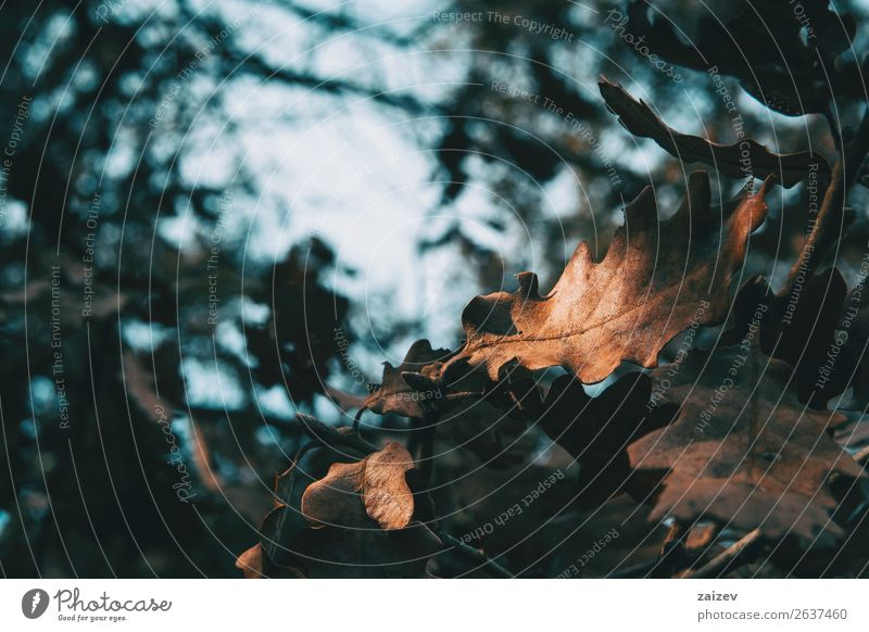 Close-up of an isolated oak leaf illuminated by a sunbeam Beautiful Winter Garden Decoration Wallpaper Nature Earth Sky Autumn Tree Leaf Park Forest Dark