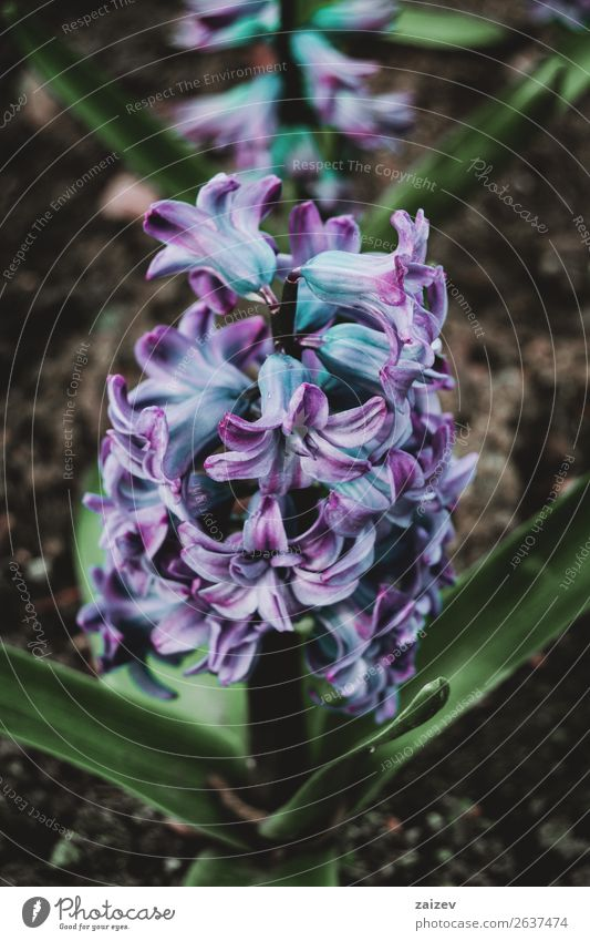 Close-up of an inflorescence of blue and lilac flowers of a hyacinthus orientalis Beautiful Summer Garden Decoration Gardening Nature Plant Spring Flower Leaf