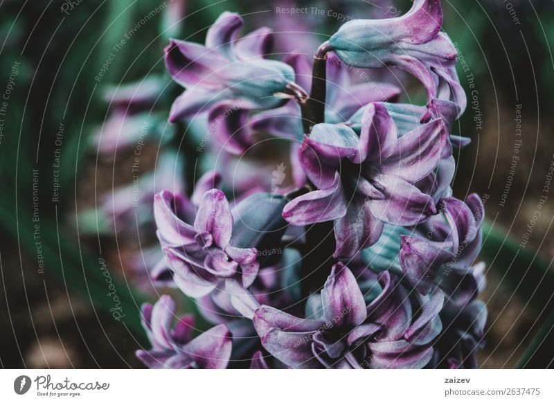 Close-up of an inflorescence of blue and lilac flowers Beautiful Summer Garden Decoration Gardening Nature Plant Spring Flower Leaf Blossom Park Fresh Bright