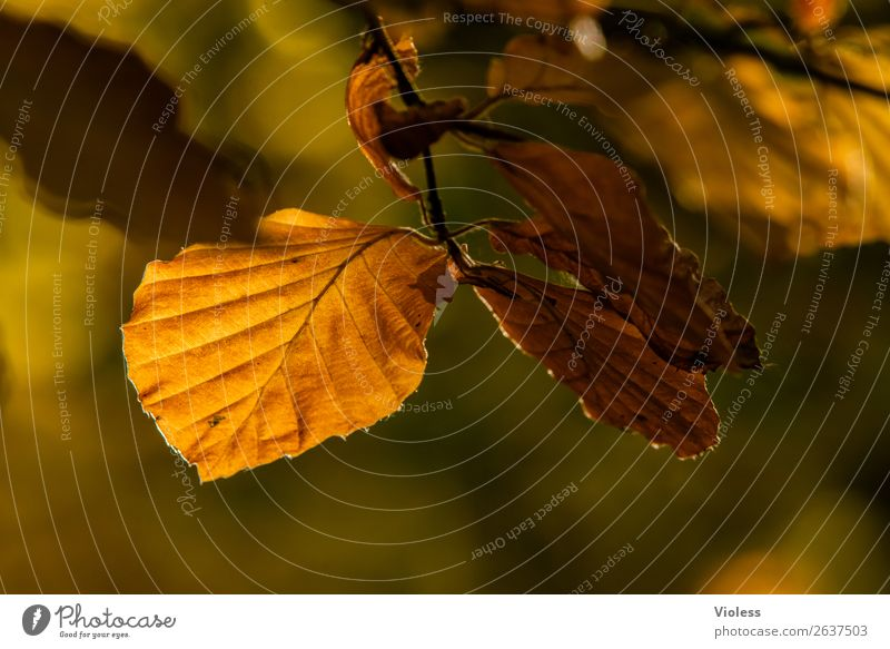 Autumn V Brown Beech tree Forest Leaf Environment Nature Twig Branch Gold