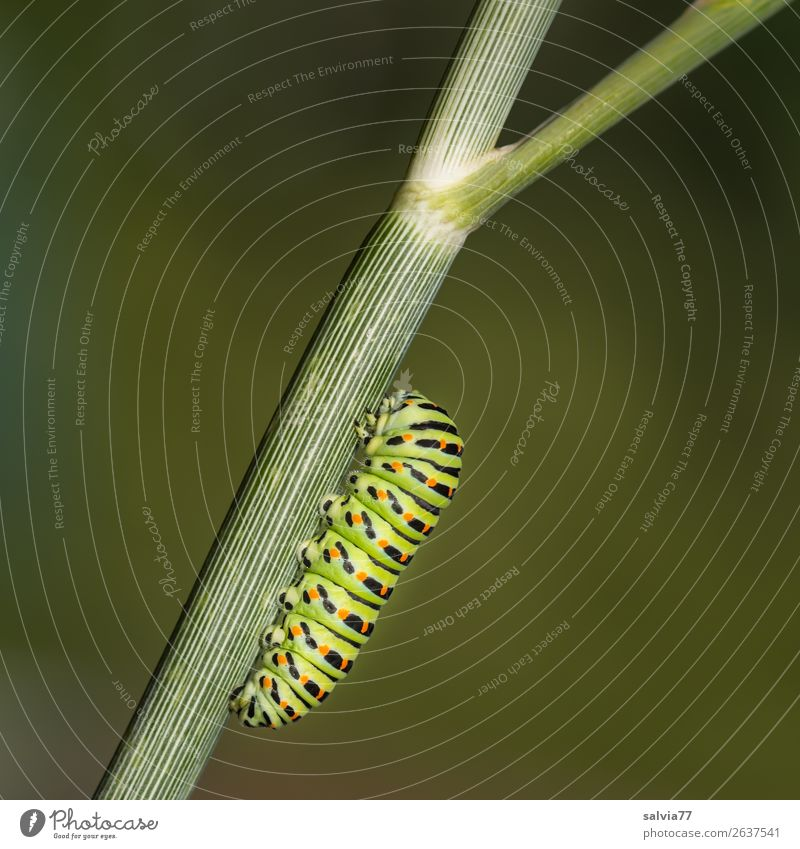 Nature Plant Green Animal Environment Garden Change Insect Stalk To feed Caterpillar Metamorphosis Transform Dill Larva Swallowtail