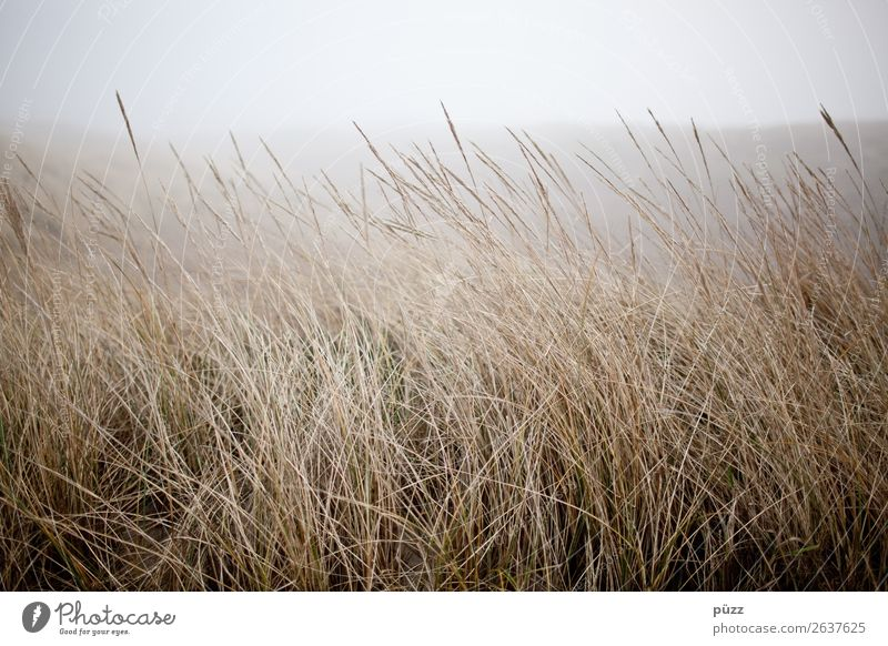 grass Summer Beach Ocean Island Environment Nature Landscape Plant Sky Weather Bad weather Wind Fog Grass Coast North Sea Baltic Sea Sylt Beach dune