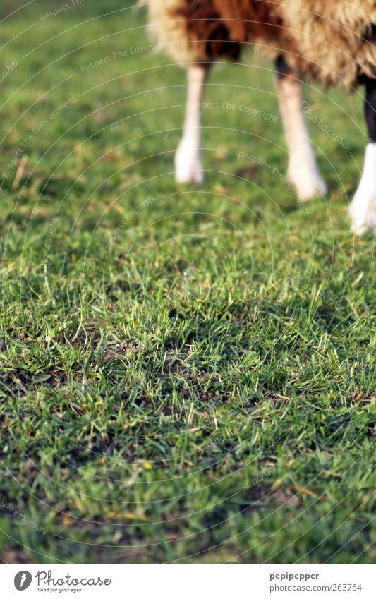 Green Animal Meadow Grass Brown Walking Pelt Sheep Paw Farm animal Coat color