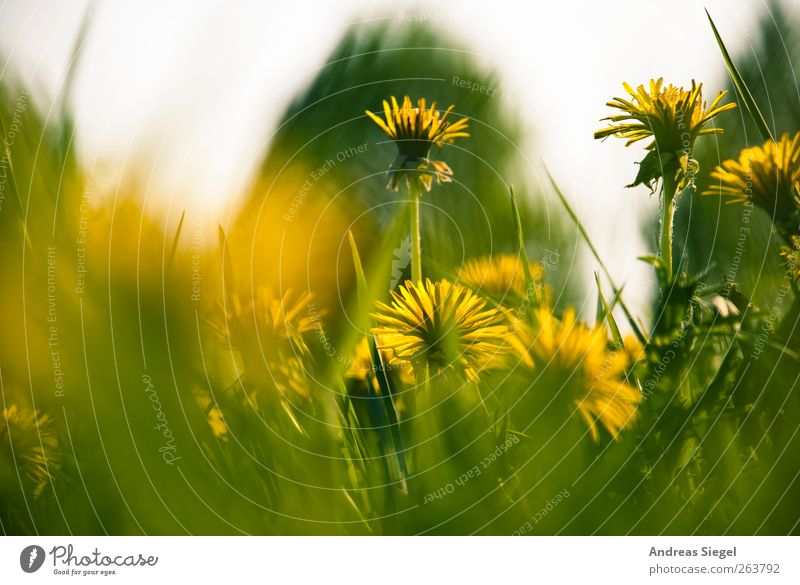Wait a minute Environment Nature Landscape Plant Spring Grass Leaf Blossom Wild plant Dandelion Dandelion field Meadow Blossoming Relaxation Fresh Yellow Green