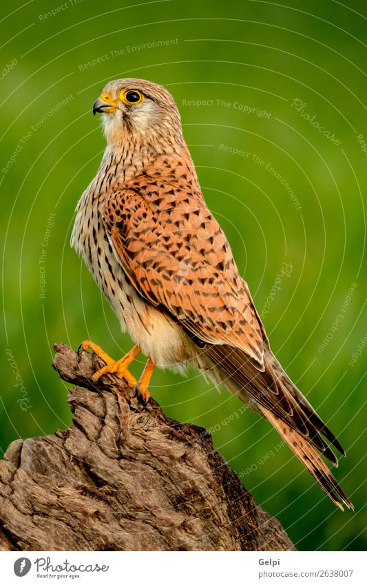 Beautiful profile of a kestrel in the nature Nature Animal Bird Observe Natural Wild Brown Green White Falcon Kestrel wildlife common raptor Prey falco