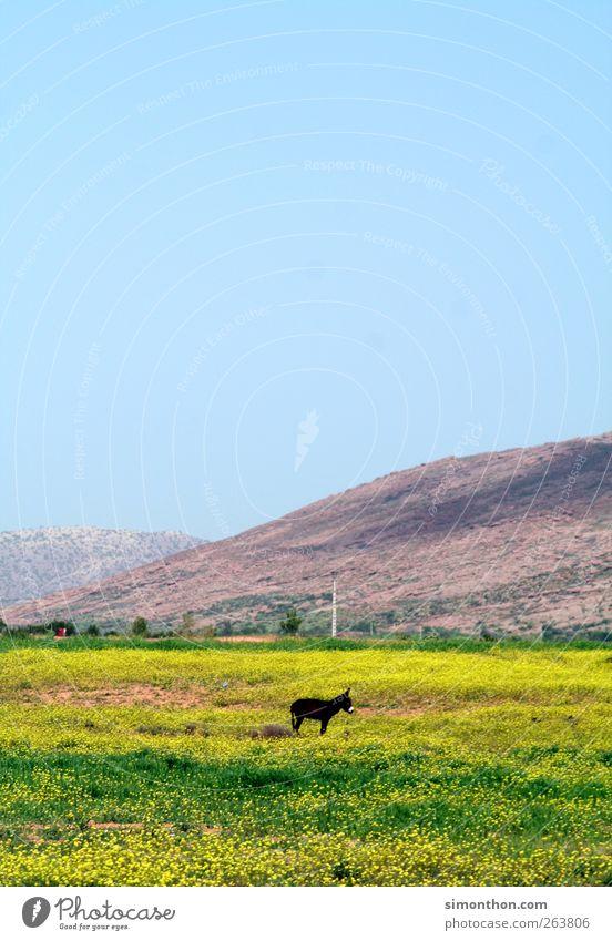 ass Farm animal Feeding Donkey Pasture Nature Morocco Africa Badlands Loneliness Travel photography Colour photo