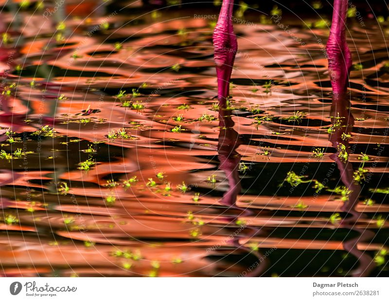 think pink Animal Water Leaf Island Lake Bird Flamingo Swimming & Bathing Exceptional Green Pink Waves Bud Legs Colour photo Exterior shot Experimental Deserted