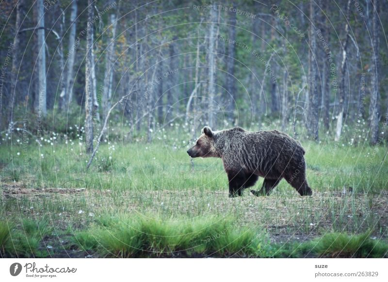 Bruno Hunting Environment Nature Landscape Animal Meadow Forest Pelt Wild animal 1 Observe Threat Curiosity Strong Brown Power Appetite Fear Bear Wilderness