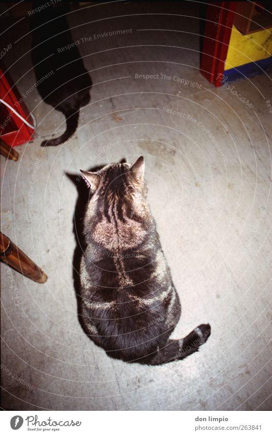 Cat Animal Interior design Together Dirty Wait Living or residing Pelt Serene Fat Analog Pet Tiger skin pattern