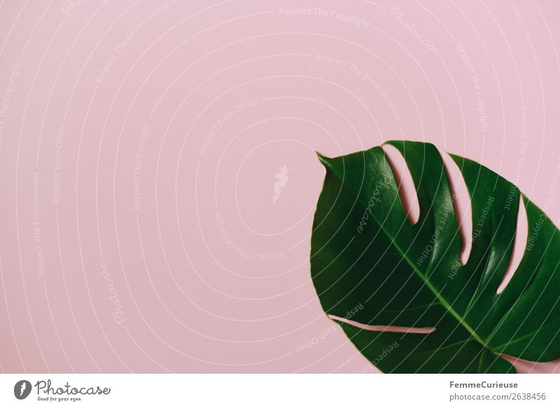 Leaf of a monstera plant on a pink background Nature Creativity Structures and shapes Design Pink Green Monstera Plant Part of the plant Paper Stationery Empty