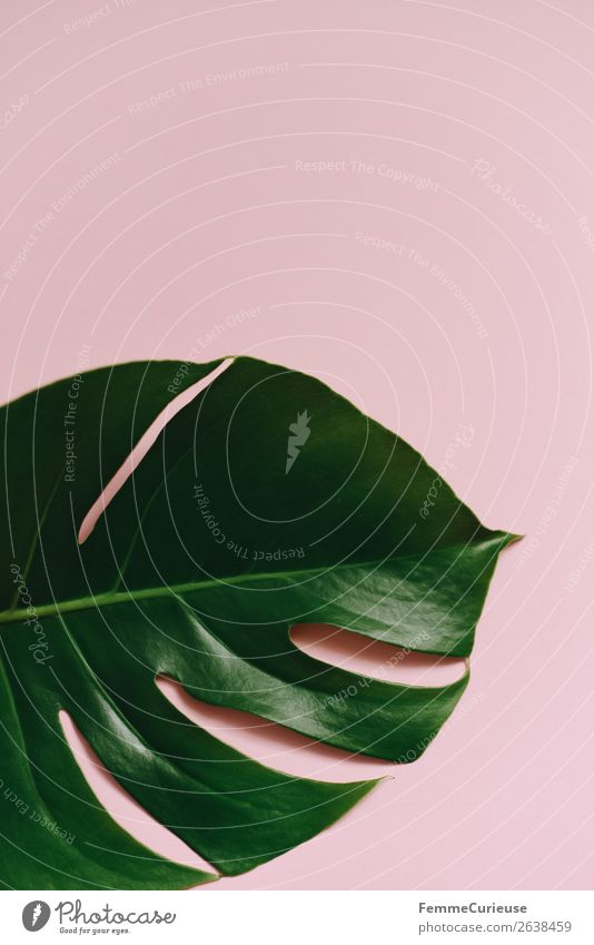 Leaf of a monstera plant on a pink background Nature Design Symmetry Structures and shapes Pink Green Monstera Esthetic Plant Part of the plant Foliage plant