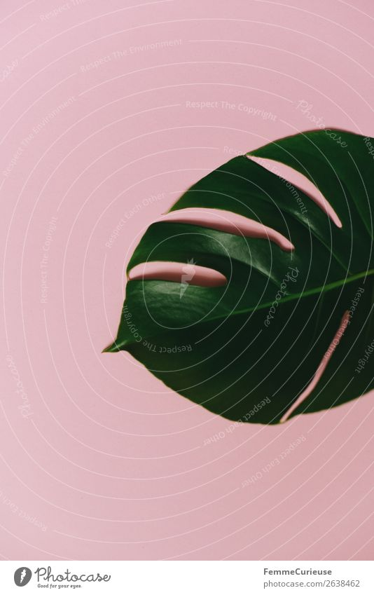 Leaf of a monstera plant on a pink background Nature Stationery Paper Creativity Monstera Plant Part of the plant Foliage plant Pink Green Decoration Design