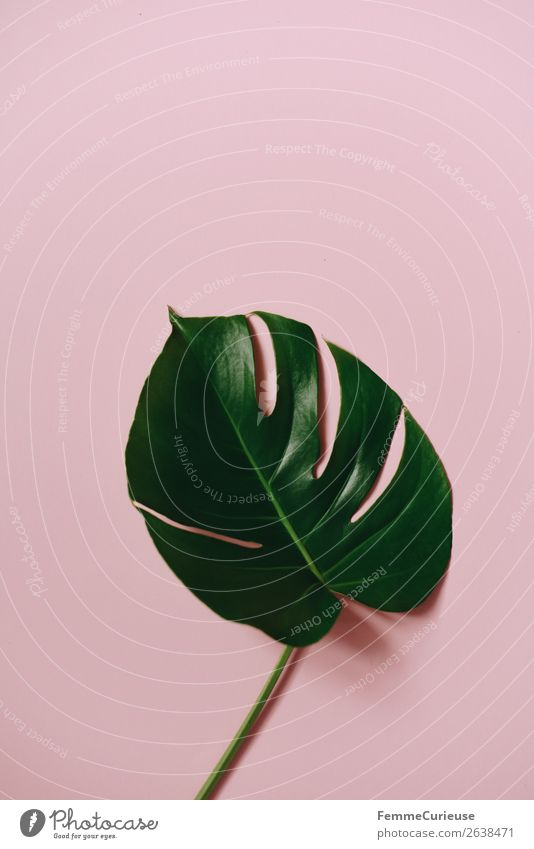 Stem and leaf of a monstera plant on a pink background Lifestyle Nature Creativity Design Pink Green Monstera Plant Part of the plant Foliage plant Paper