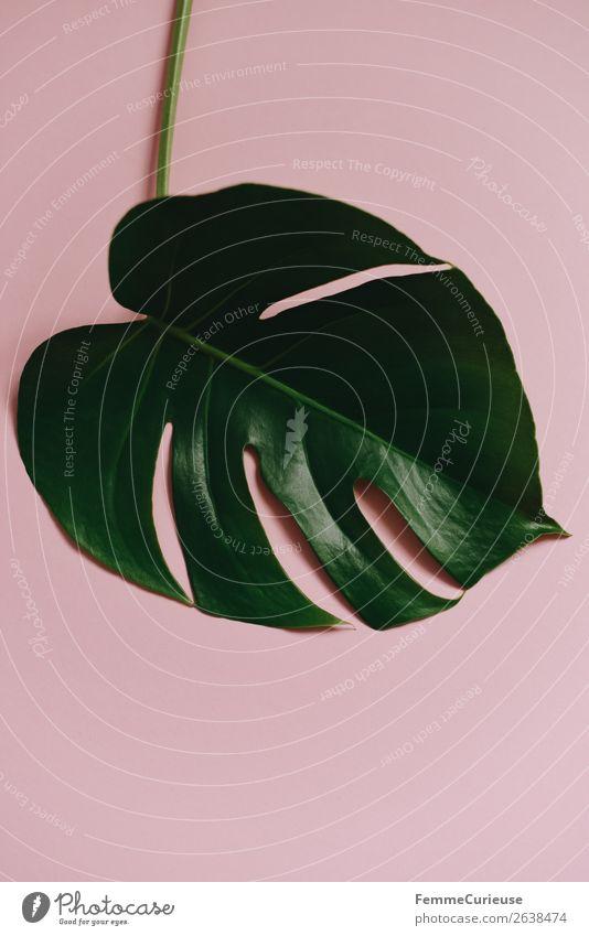 Nature Plant Leaf Pink Decoration Esthetic Stalk Pastel tone Part of the plant Monstera