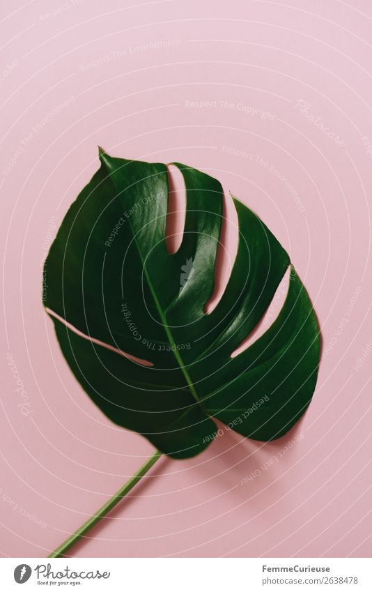 Leaf of a monstera plant on a pink background Stationery Paper Creativity Esthetic Design Structures and shapes Pink Green Monstera Plant Part of the plant